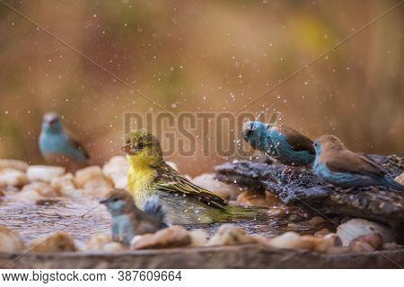 Village Weaver And Blue Breasted Cordonbleu Bathing In Waterhole In Kruger National Park, South Afri