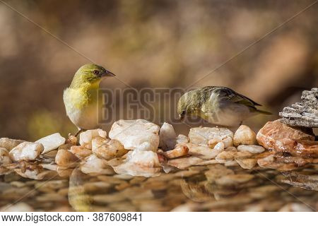 Couple Of Village Weaver Standing At Waterhole In Kruger National Park, South Africa ; Specie Ploceu
