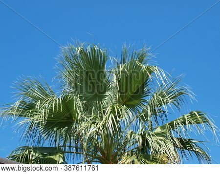 A Beautiful Palm Tree Found From An Alley Walk Looking For Unusual Things. The Palm On A Deep Blue S