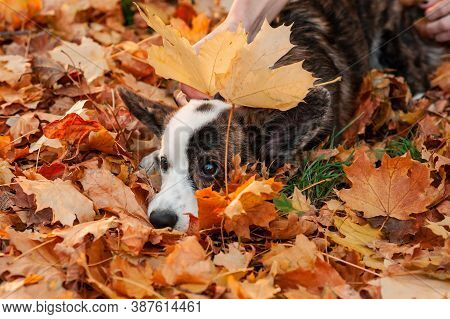 Closeup Portrait Of Welsh Corgi Dog Looking At Camera In Autumn Background. Dog On Autumn Leaves. Ba