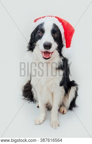 Funny Studio Portrait Of Cute Smiling Puppy Dog Border Collie Wearing Christmas Costume Red Santa Cl