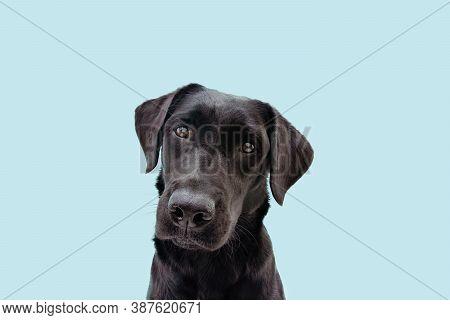 Portrait Black Labrador Dog Tilting Head Side. Isolated On Blue Background.