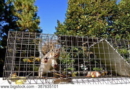 A Gray Squirrel Is Captured In A Metal Live Cage