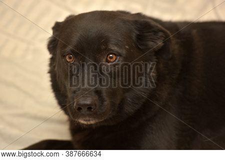 Big Black Large Mongrel Purebred Miserable Scared Dog