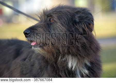 Dog Mestizo Terrier For A Walk In The Summer