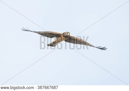 Female Northern Harrier Hawk  At Richmond Bc Canada,