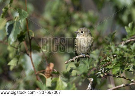 Hutton's Vireo Bird  At Richmond Bc Canada,