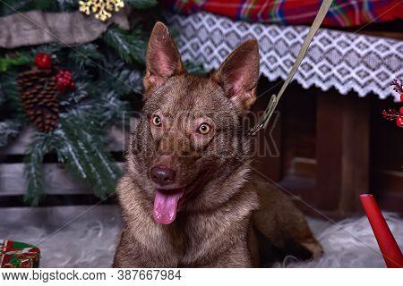 Brown Dog, Half-breed Husky On A Christmas Background