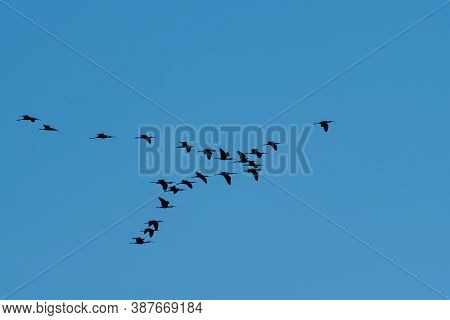 A Flock Of Ibis Birds Flying In Formation As They Fly High Overhead Through A Clear Sky As They Migr