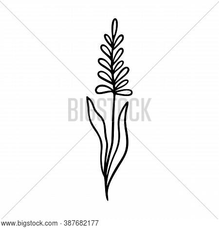 Lavender Outline Hand Drawn Element. Herbs Doodle Botanical Icon Lavender For Logo. Herbal And Meado