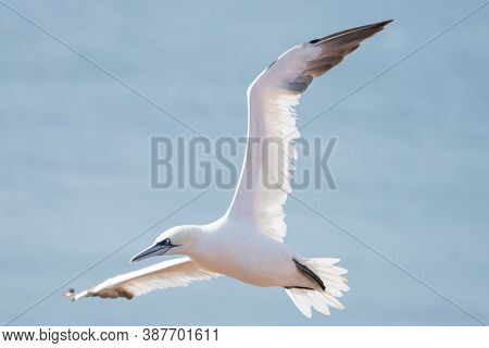 A Single White And Yellow Gannet Gliding Through The Blue Sky. The Wild Flying Seabird Has Black Win
