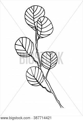 Filbert Branch Line Art. Realistic Hand Drawn Vector Illustration Of Corylus Maxima, Or Hazel. Isola
