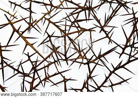 Sharp Needles Of Prickly Acacia On A White Background Isolate