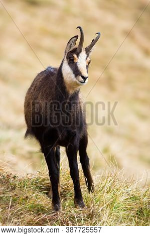 Tatra Chamois Standing On Grass In Mountains In Autumn Nature.