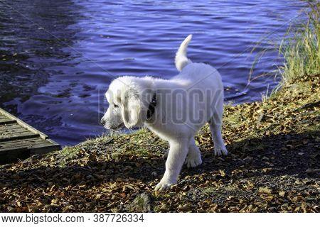 Polish Tatra Shepherd Dog Puppy Is Walking By The Lake On A Sunny Autumn Day.