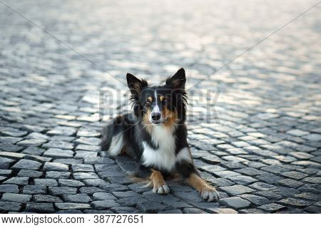 Nice Dog In The City. Border Collie L The Background Of The Old Town