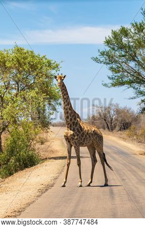 Single adult South African or Cape giraffe, Giraffa camelopardalis, crossing a road in Kruger National Park, South Africa.