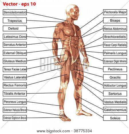 Vector eps concept or conceptual 3D human anatomy and muscle isolated on white background as a metaphor to body,tendon,spine,fit,builder,strong,biological,skinless, shape,posture,health or medical