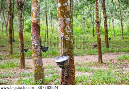 Vietnam Rubber Tree,tapping Latex Rubber,latex Extracted From Rubber Tree Source Of Natural In Vietn