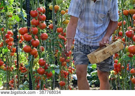 The Farmer Collects Ripe Red Tomatoes In A Wooden Basket