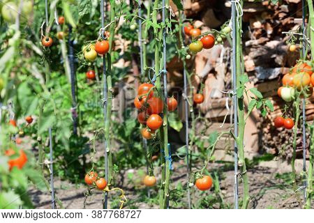 Red Fresh Tomatoes Product From The Tomatoe Plant