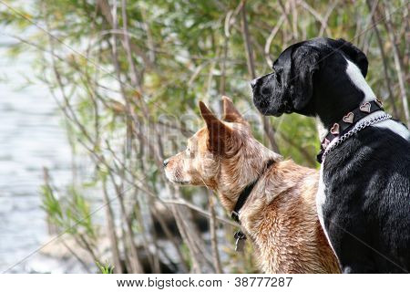two dogs looking out at a lake