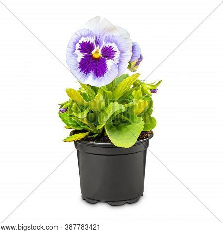 Viola Wittrockiana Flower Or Garden Pansy Is One Of The Most Popular Plants In The Garden