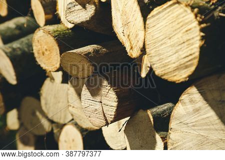 Felling A Tree. Wooden Logs From A Pine Forest, Stacked In A Forest. Forest Of Pine And Spruce. Logg