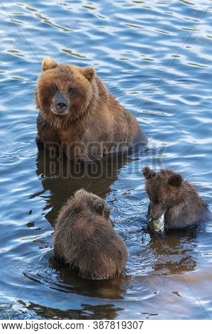Mother Grizzly Bear With Two Cubs Catches Red Salmon Fish In River During Fish Spawning