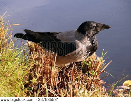 Young Hooded Crow (corvus Cornix) Also Called Hoodie On The Forest Lake Shore In Natural Environment