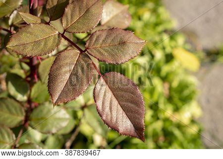 Rose Leaves In The Natural Environment. Close Up. Selective Focus