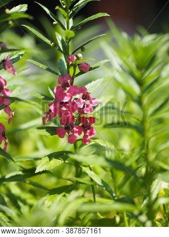 Forget Me Not Angelonia Goyazensis Benth, Digitalis Solicariifolia Name Purple Flower Is A Single Fl