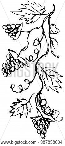 Grunge Hand-drawn Vector Black And White Sketch Of A Grapevine. Simple Shaded Sloppy Drawing Of A Cl
