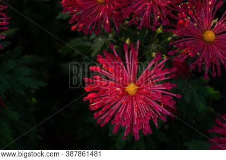 Background Of Purple Chrysanthemum Flowers In Soft Focus. Beautiful Bright Chrysanthemums In The Aut