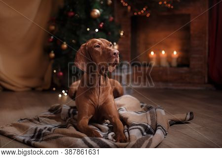 Dog By The Fireplace In A Christmas Interior. Hungarian Vizsla New Year Photos