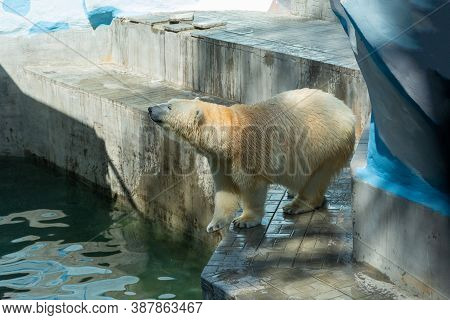 Russia, The City Of Novosibirsk, The Zoo On June 16, 2014. A Polar Bear In Captivity, Kept In A Zoo.