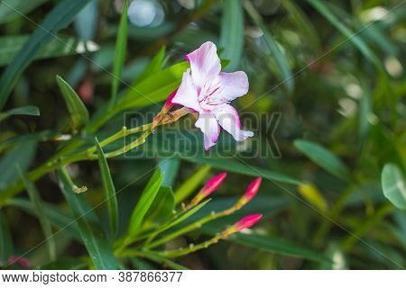 Delicate Pink Oleander Flower And Buds. Blooming Oleander. Close Up On A Background Of Tropical Vege
