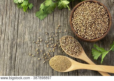 Coriander Seeds And Powder In Wooden Spoon With Fresh Cilantro Leaves On Wooden Table, ( Coriandrum