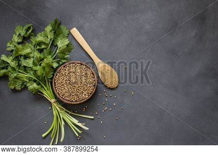 Coriander Seeds And Powder In Wooden Spoon With Fresh Cilantro Leaves On Rustic Table, ( Coriandrum