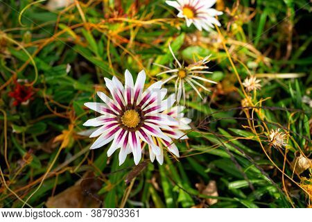 Gazania. Flower In A Flower Bed. Landscape Design Of Parks In The City. Gardening, Growing Flowers I