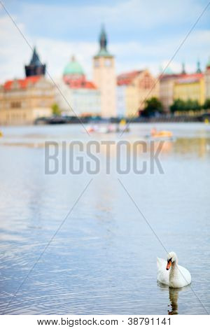 White swan in Prague, Czech Republic poster