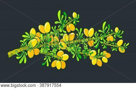 Argan Tree. Vector Botany Branch, Oil Berry, Green Leaves. Color Illustration On Black Background. A