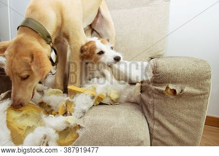 Two Puppies Dogs Caught Red-handed Biting, Destroying And Chewing A Sofa.