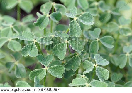Leaves Of An Oca, Oxalis Tuberosa