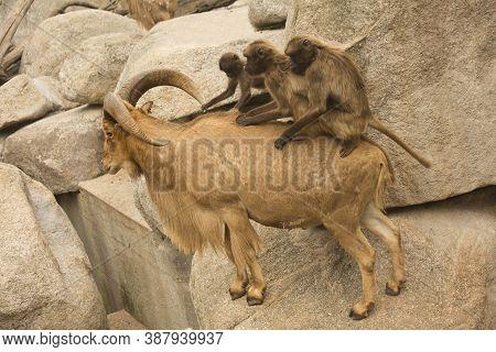 Gelada Baboon. (theropithecus Gelada) And  Barbary Sheep (ammotragus Lervia).