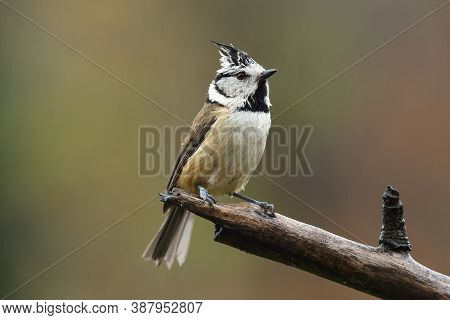 The European Crested Tit, Or Simply Crested Tit (lophophanes Cristatus) Sitting On The Branch