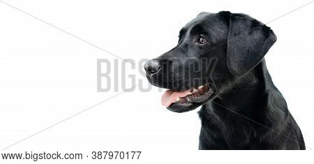 Profile Black Labrador Puppy Dog, Isolated On White Background.