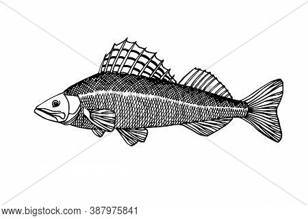 Freshwater Pike-perch With Spiny Fin, Commercial Fish, Delicious Food, For Fishing Emblem, Logo, Vec