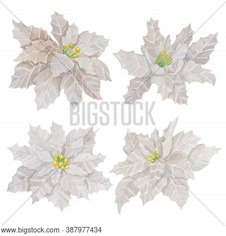 Poinsettia Flower Set Watercolor Illustration. White Poinsettia Bloom Collection Isolated On White B