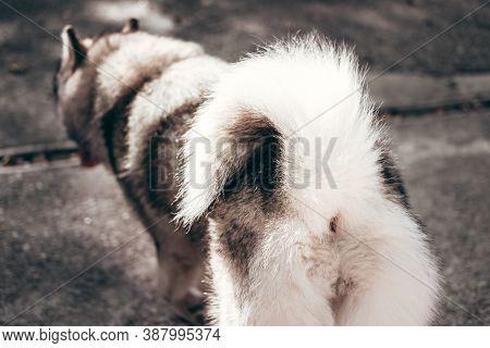 Female Malamute, A Huge Friendly Northern Sled Dog Breed On A Walk, Rear View. A Large Fluffy Alaska